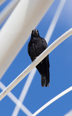 Black crows in nature Stock Photo