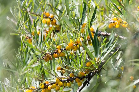 seabuckthorn: Yellow sea-buckthorn in nature