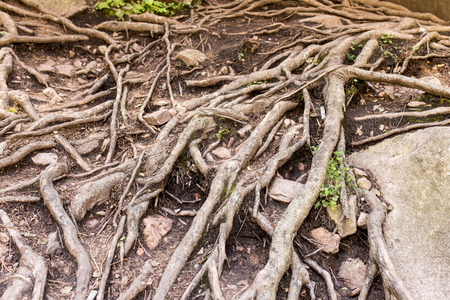 large tree: Large tree roots in nature