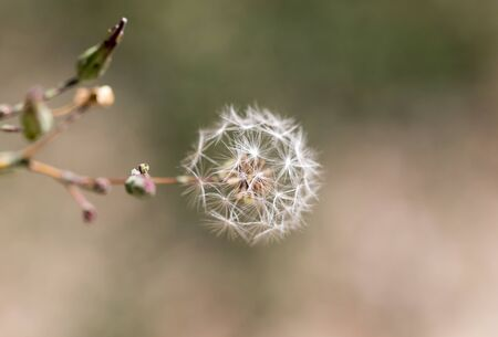 dandelion fluff in nature Stock Photo