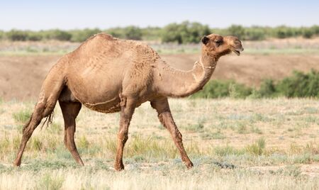 Portrait of a camel in nature