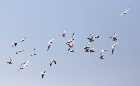 a flock of seagulls in flight Stock Photo