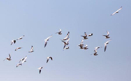 een kudde van meeuwen in vlucht Stockfoto
