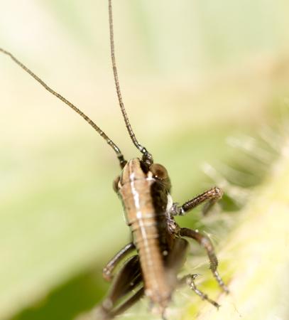 Grasshopper on a green leaf. macro Stock Photo