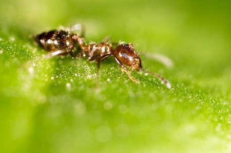hormiga hoja: hormiga en una hoja verde. macro Foto de archivo