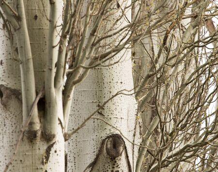 arbol alamo: corteza de los árboles de álamo como fondo Foto de archivo