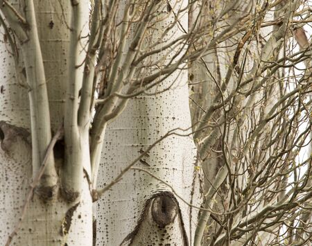 arbol alamo: poplar tree bark as a background
