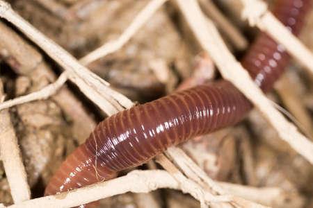 lombriz de tierra: gusano en la naturaleza. super macro