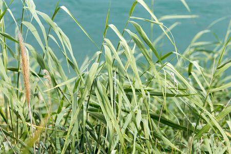 canne: canne verdi sul fiume