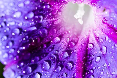 kropla deszczu: Krople wody na niebieskim kwiatem