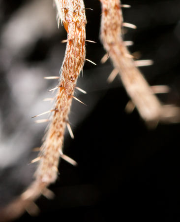 araneidae: foot spider. close Stock Photo