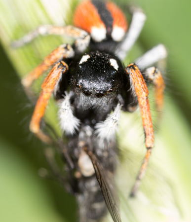 the lynx: spider with a fly in nature. macro Stock Photo