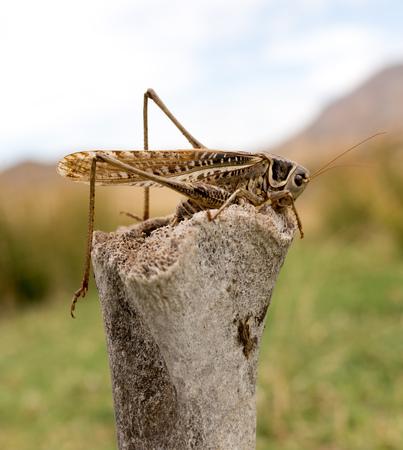 chorthippus: grasshopper in nature. macro