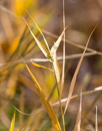 bulrush outdoors in autumn Stock Photo