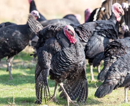 farm turkeys outdoors