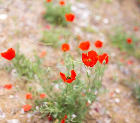 Flower of red poppy on nature Stock Photo