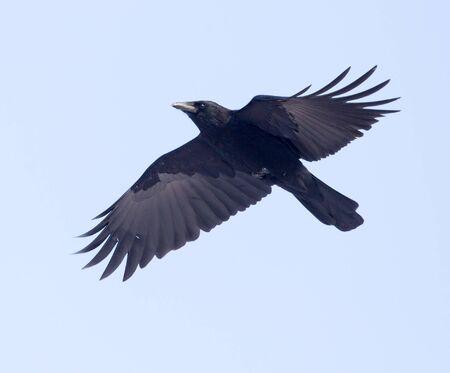 corvus: crows flying in the sky