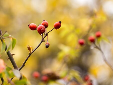rosehips in nature in autumn Stock Photo