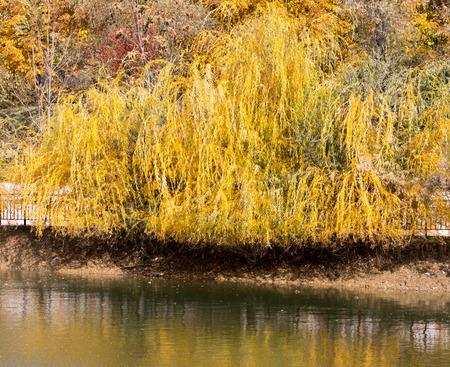 yellow willow outdoors in autumn Stock Photo