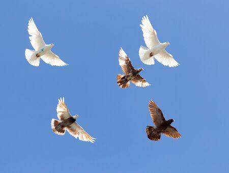flock of pigeons on blue sky