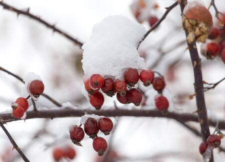 covered fields: rose hips in the snow in the winter