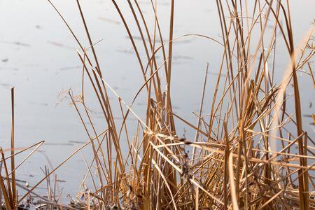 bulrush: bulrush outdoors in autumn Stock Photo