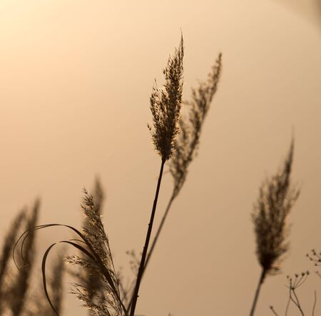 ance: reeds on a sunset background Archivio Fotografico