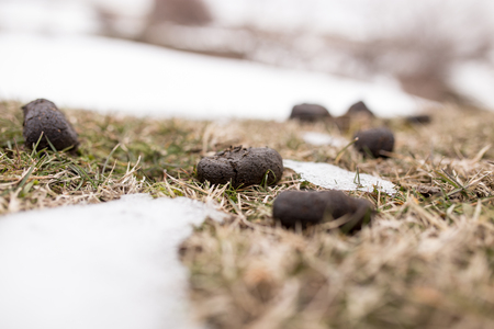 Horses poop in the snow