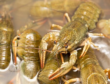 Live crayfish in the water as a background Stock Photo