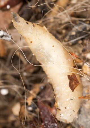White grubs in nature. macro