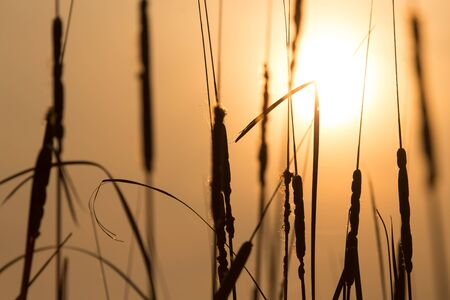 canne: reeds on a sunset background Archivio Fotografico