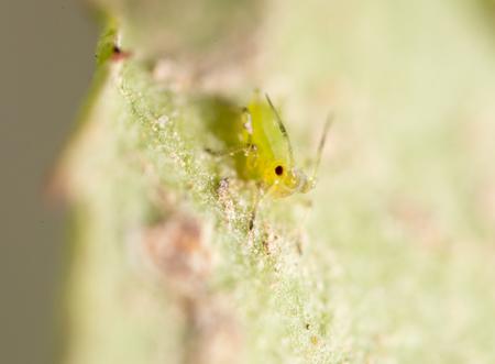 piojos: ampliación extrema - áfidos verdes en una planta Foto de archivo