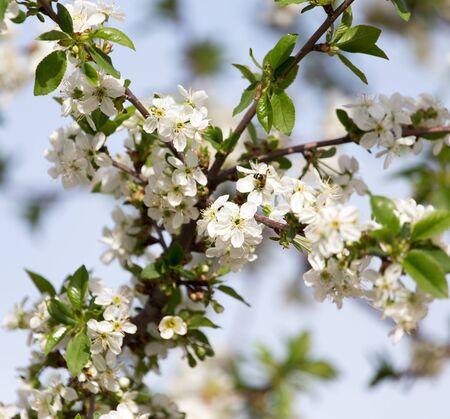 crab apple tree: beautiful flowers on a tree Stock Photo
