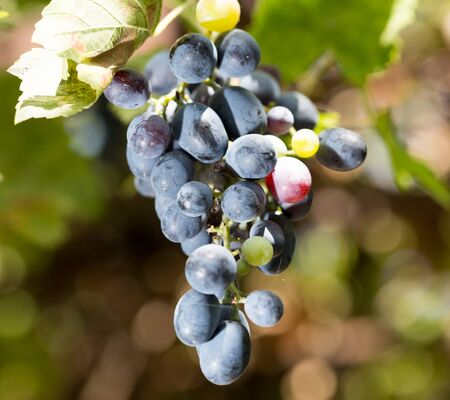 black grapes in nature