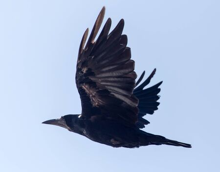 corvus: Black crow in flight against blue sky