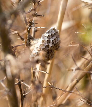 honeycomb wasp in nature