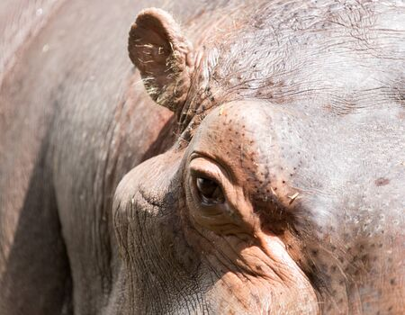 Portrait of a hippopotamus in the zoo
