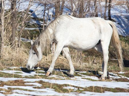 arab beast: white horse on nature in winter