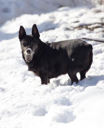 black dog on the snow
