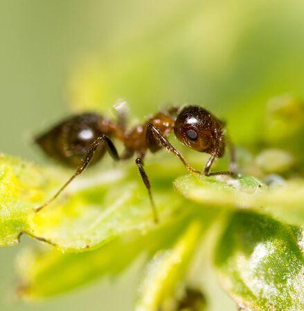 hormiga hoja: ant on a green leaf. macro Foto de archivo