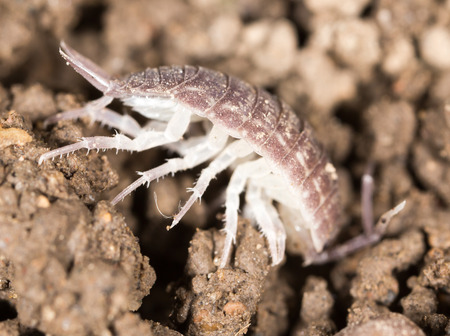 beetle wood louse in the ground. macro