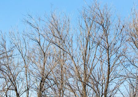 leafless tree branches against the blue sky Stock Photo