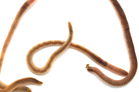 wiggler: earthworms on a white background. Macro Stock Photo