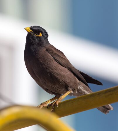 common myna bird: Indian starling in the city