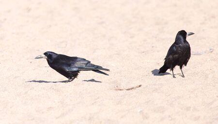 corvus: black crow on the sand