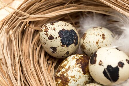 quail eggs in a nest with feather