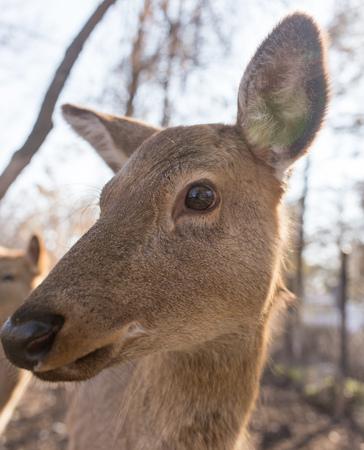 mule deer: Deer in the park on nature in winter