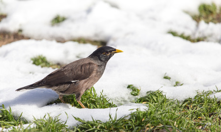 Starling on the ground in winter