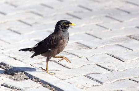 common myna bird: Starling on the road Stock Photo