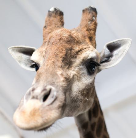 Head of a giraffe in a zoo .